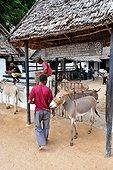Free clinic for donkeys - Lamu Kenya ; Donkeys are the primary means of transportation