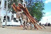Ane portant du bois de Palétuvier - Lamu Kenya ; utilisé pour la construction