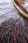 Pirogue et troncs de Palétuvier flottant - Lamu Kenya ; utilisé pour la construction