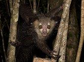 Aye-aye on a tree - Northeast Madagascar