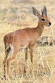 Steenbok in the savannah - Zimbabwe Hwange