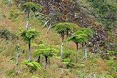 Tree Ferns - Cirque de Mafate Reunion Island