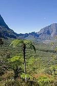 Tree Fern - Cirque de Mafate Reunion Island