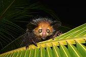 Aye-Aye on a palm frond - West Masoala Madagascar