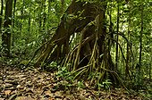 Stilt roots in the forest - Tresor Reserve French Guiana