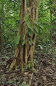 Black Manwood trunk - Tresor French Guiana