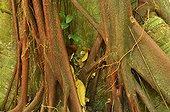 Strangler Fig Roots - Matoury French Guiana