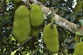 Jackfruits on branch - Guiana Amazonian Park