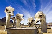 Portrait of Ostrichs eating in a ranch - Arizona USA ; Rooster Cogburn Ostrich Ranch