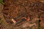 Southern Whiptail Skink on ground - Koghi New Caledonia