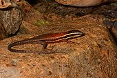 Southern Whiptail Skink on rock - Koghi New Caledonia
