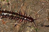 Giant centipede on ground - New Caledonia