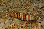 Ribboned mitre on sand - New Caledonia