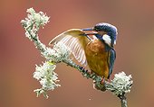 Male Kingfisher preening on a branch in summer - GB