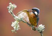 Martin-pêcheur mâle se lissant les plumes en été - GB