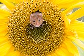 Harvest Mouse in a Sunflower in summer - GB