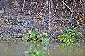 Sunbittern on bank - Pantanal Brazil