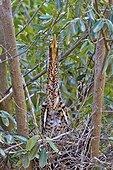 Young Rufescent Tiger Heron at nest - Brazil Pantanal