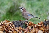 Eurasian Jay on ground with autumn leaves - Warwickshire UK