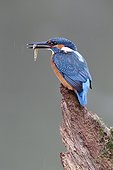 Common Kingfisher on branch with fish - Warwickshire UK