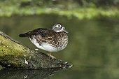 Wood duck  female on branch by water - Warwickshire UK