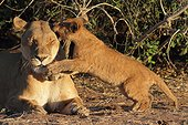 Lioness and cub in the savannah - Chobe Botswana