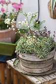Saxifrage pyramidale en fleur dans un jardin