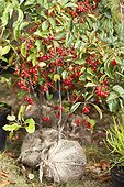 Crabapple tree 'Red Sentinel' to be planted in a garden