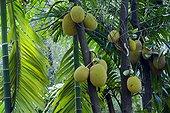Jackfruits on branch - Minneriya Sri Lanka