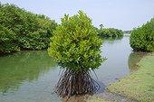 Mangrove swamp - Batticaloa Sri Lanka