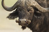 Cape Buffalo with Oxpeckers - Chobe Botswana