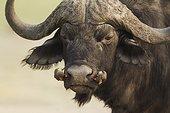 Cape Buffalo with Oxpeckers - Chobe Botswana