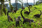 White-nosed Coatis in a clearing - Costa Rica ; honorable mention in the MontPhoto 2015 and the 1st prize Awarded by Aefona