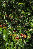 Coffee Plantation - Alajuela Costa Rica