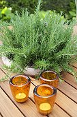 Rosemary in pot on a table garden