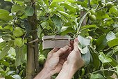Green lacewings trap in an apple tree