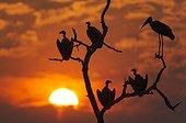 Vultures and Marabou Stork at dusk - Chobe Botswana