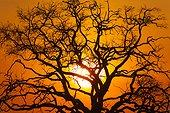 Tree at dusk - Chobe Botswana