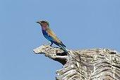 Lilac-breasted Roller - Okavango Delta Moremi Botswana