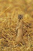 Selous Mongoose standing - Savuti Chobe Botswana