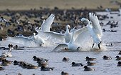 Bewick's Swans fighting on water in winter - GB