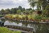 "The hortillonages ""floating gardens""  of Amiens ; flower-bed with: Verbena bonariensis, verbena sp, canna, Tagetes erecta, Rudbeckia"
