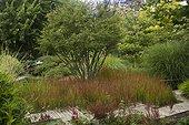Imperata cylindrica 'Red Baron' ; Jardin de Valérianes