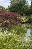 Jardin de Valérianes ; Acer palmatum purpureum, hosta, poaceae