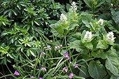 Choisya,Tradescantica, Salvia sclarea 'Vaticans White' ; Choisya,Tradescantica, Salvia sclarea 'vaticans white'™
