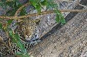 Leopard resting in a tree - Chobe Botswana