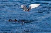 Antarctic tern with prey in flight - South Georgia