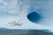 Chinstrap penguins on iceberg - Antarctica Weddell Sea