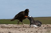 Striated Caracara and nesting Gentoo Penguin - Falklands
