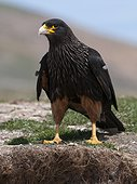 Striated Caracara on ground - Falkland Islands